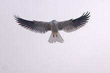 220px-White-Tailed_Kite