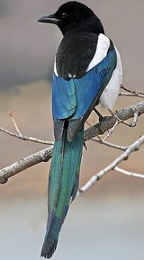 Black-billed Magpie photo by ~Nick Saunders
