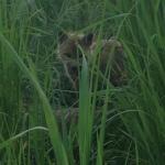 Baby Fox by Faith Elise
