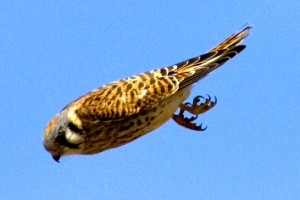 American Kestrel Diving Photo By Kevin Cole