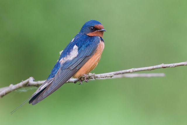Barn Swallow photo by JJ Cadiz