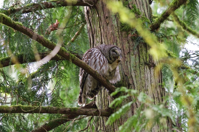 Barred Owl at Tryon Creek Photo By Jack Williamson