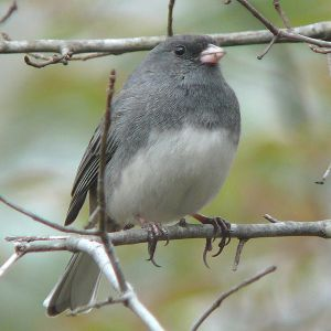 Male Dark-eyed Junco Photo By Ken Thomas