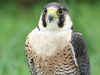 Peregrine Falcon Photo By Kathy Munsel