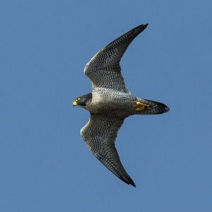 Peregrine Falco Photo By Mike Baird
