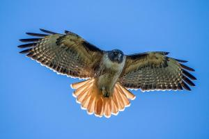 Red-tailed Hawk by Pierre Leclerc