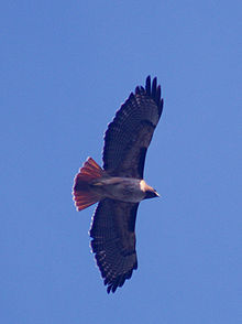 Red-tailed Hawk In Flight  Photo By Brocken Inaglory