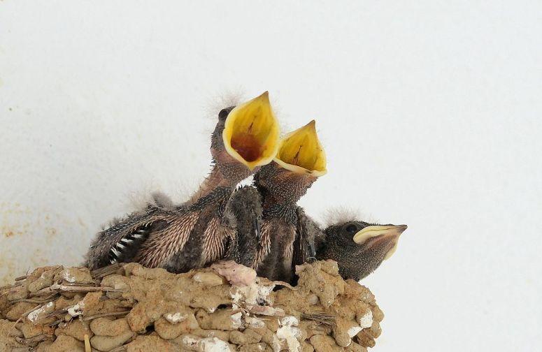 Barn Swallows, Protected From The Rain - Faith Sees Birds