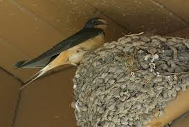 Barn Swallow nesting  View Credits at the bottom of the page.