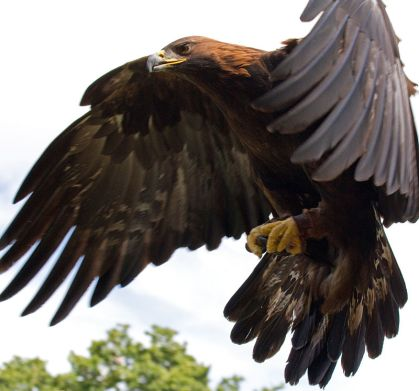 Golden Eagle In Flight Photo by Tony Hisgett