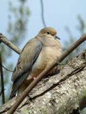 Mourning dove during breeding season