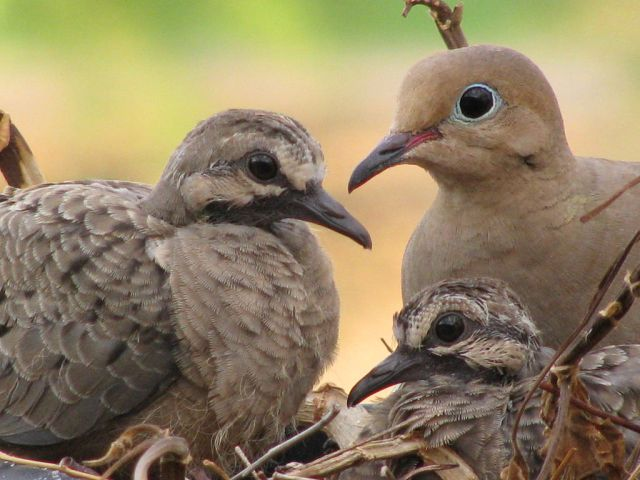 Mourning Dove photo by Andrew Atzert.