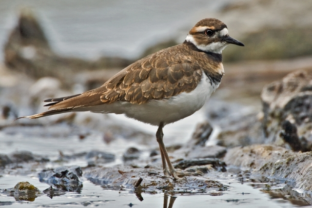 Killdeer photo by Alan D. Wilson