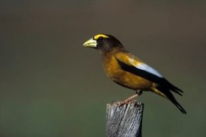 Male Evening Grosbeak photographed by Peter Wallack