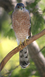 Cooper's Hawk Photo by Jason Finley