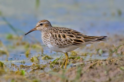 Pectoral Sandpiper Photographed by Andreas Trepte