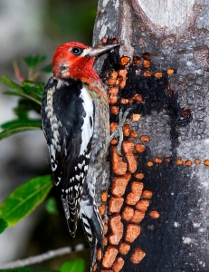 Red-breasted Sapsucker Photographed by Kevin Cole