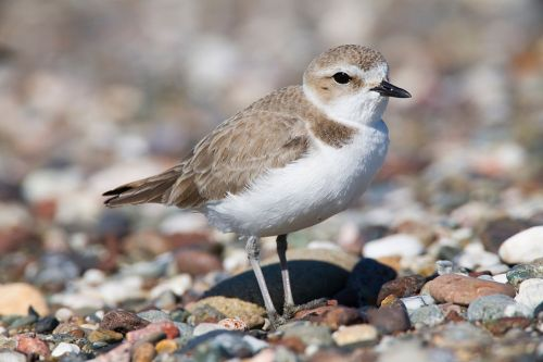 Snowy Plover Photograph by Michael L. Baird