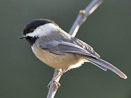 Black-capped Chickadee by Gary Luhm