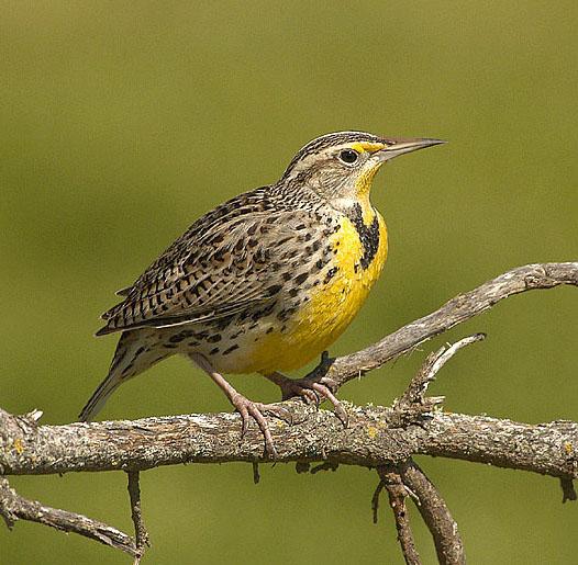 Western Meadowlark Identification All About Birds