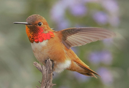 Rufous Hummingbird, photographed by Tom Grey