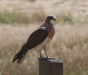 Swainson's Hawk, (photo from wikipedia)