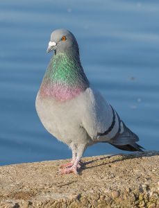 Rock Pigeon by Diego Delso