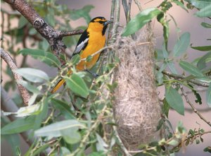 Bullock's Oriole Nest Photo by Jeffrey Rich